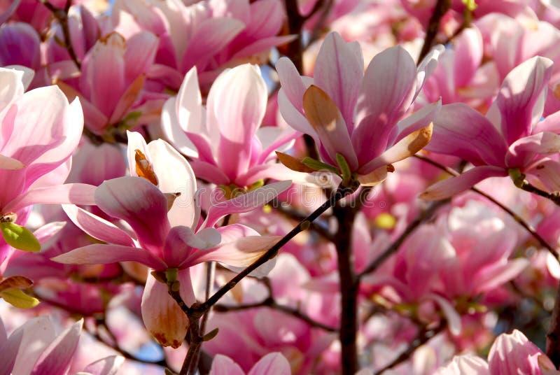 зацветая magnolia стоковая фотография rf