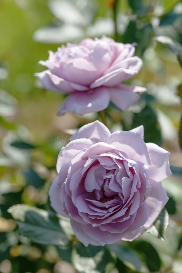Зацветая Mauve или mauve смесь подняли в сад на солнечный день стоковые фотографии rf