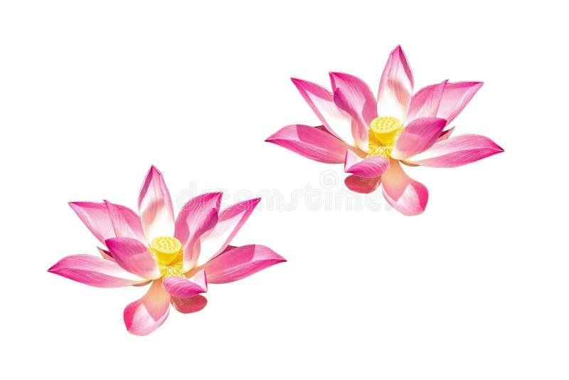 Зацветая nucifera Nelumbo цветков священного лотоса изолированное на белизне стоковая фотография rf