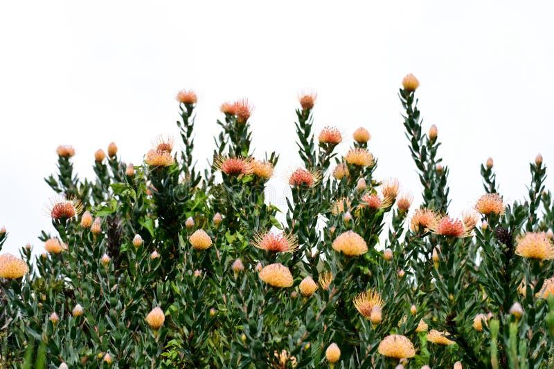 Зацветая Protea в саде Kirstenbosch национальном ботаническом стоковая фотография rf