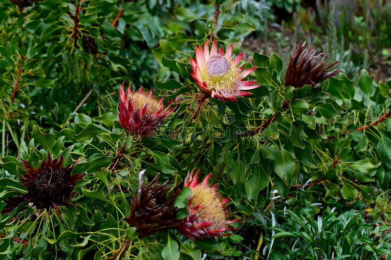 Зацветая Protea в саде Kirstenbosch национальном ботаническом стоковые изображения rf
