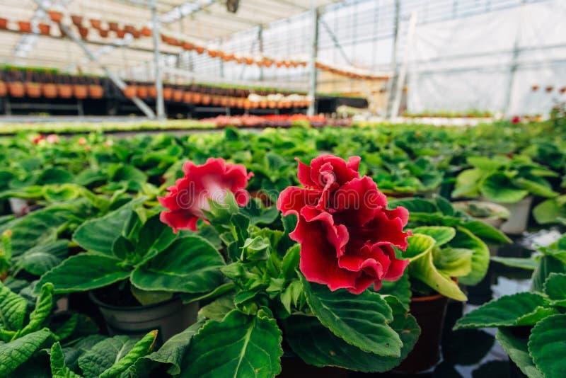 Зацветая speciosa синнингии gloxinia в парнике стоковые фото