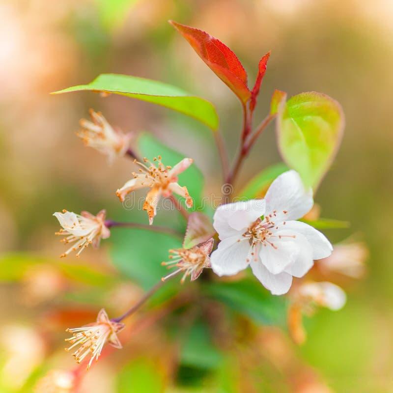 Зацветенные цветки вишни стоковое изображение