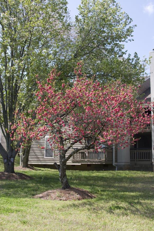 зацветенный вал весны мирта crape полно стоковые фотографии rf