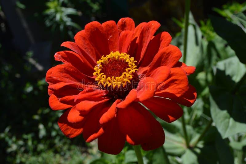 зацветите красный цвет стоковое фото rf