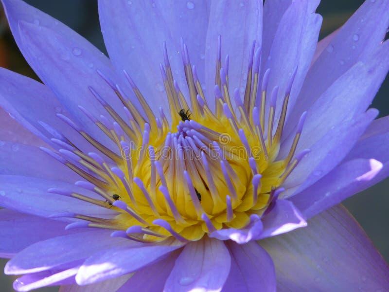 зацветите лотос стоковое изображение