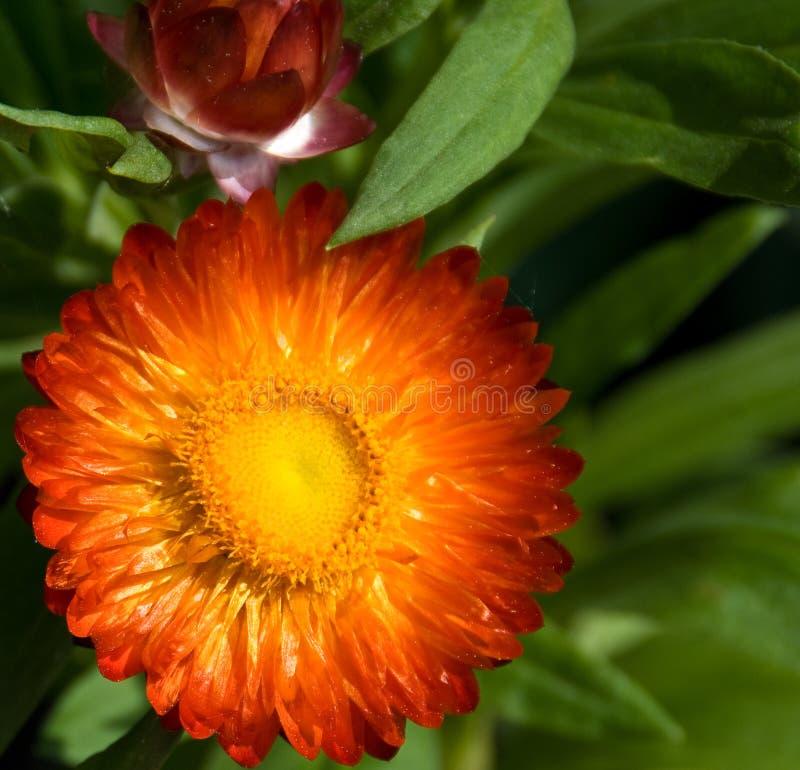 зацветите сторновка стоковое фото rf