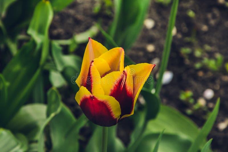 Зацветите тюльпан в конце-вверх фото сада на летний день стоковое изображение rf