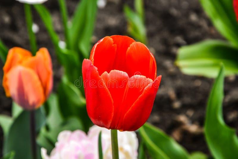Зацветите тюльпан в конце-вверх фото сада на летний день стоковая фотография