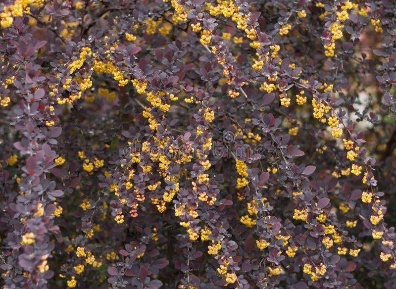 Зацветите фото барбариса Superba ottawensis барбариса весны куста blossoming стоковое фото rf