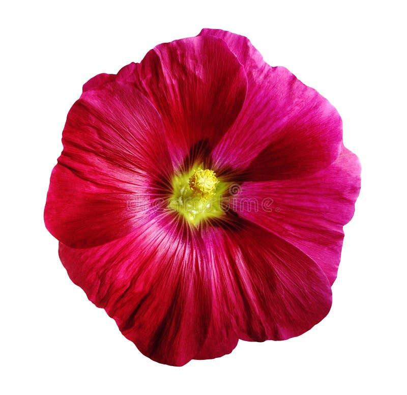 Зацветите lavatera, белизна изолированная предпосылка с путем клиппирования стоковые изображения