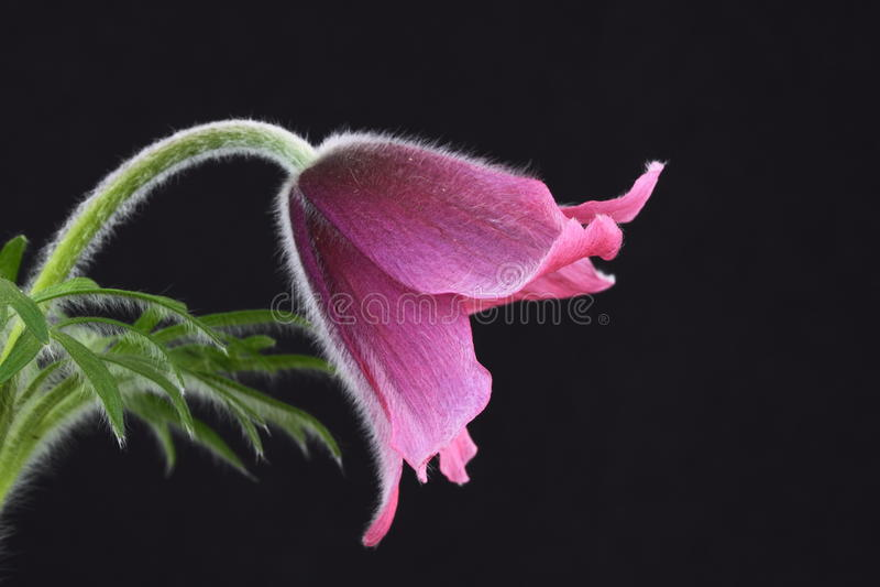 зацветите pulsatilla пинка pasque стоковое фото rf