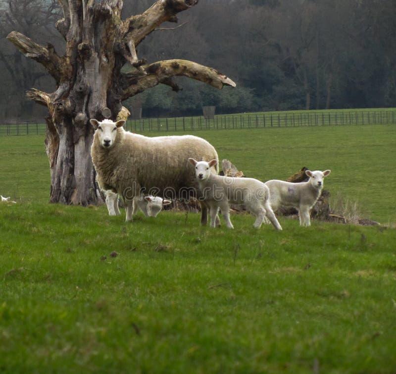 Защищать стадо стоковое изображение rf