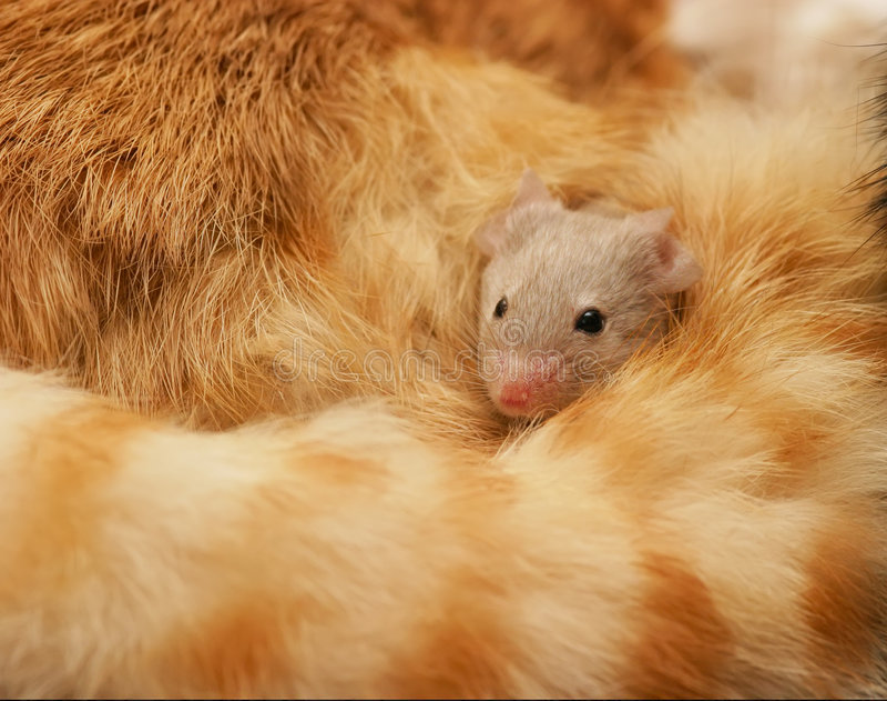 защищенная мышь стоковое фото rf