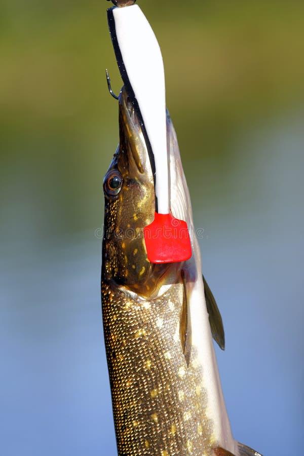 Download Задвижка Pike стоковое изображение. изображение насчитывающей природа - 33739641