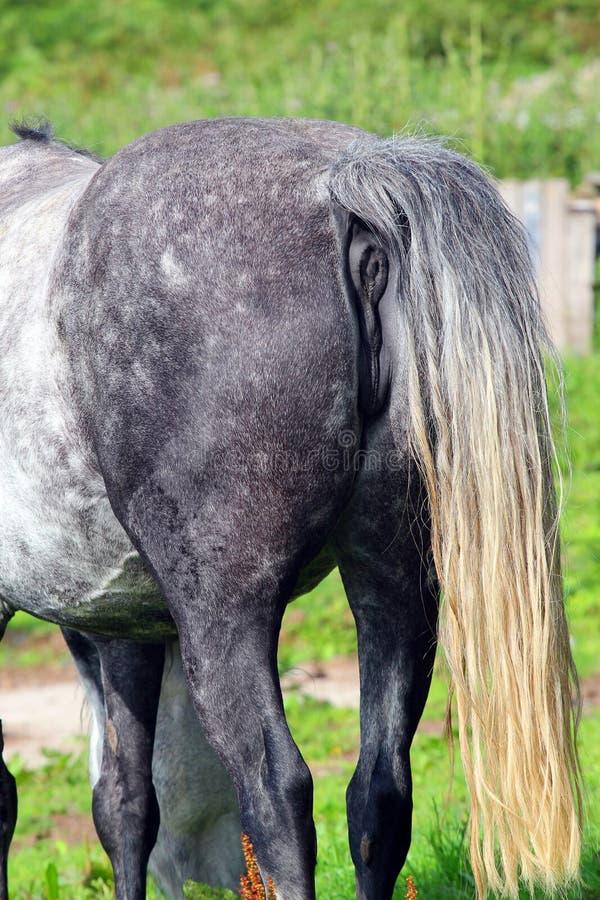 Задняя часть или задница лошадей стоковая фотография rf
