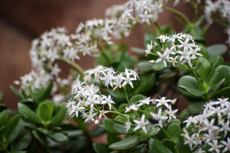 Звезда лакомства белая как цветки стоковые фото