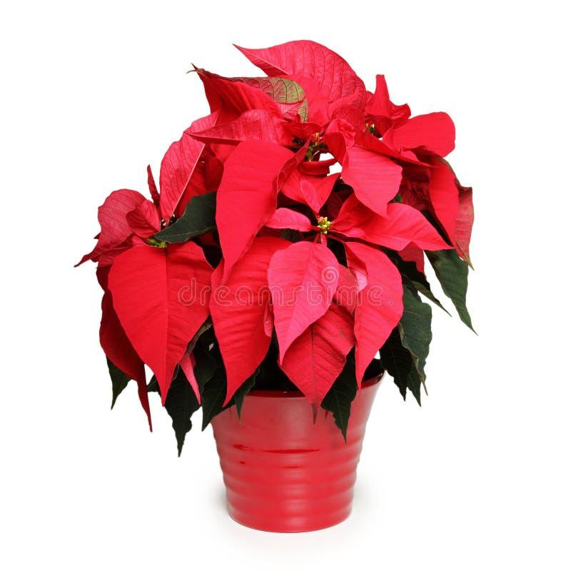 звезда цветка рождества стоковые изображения