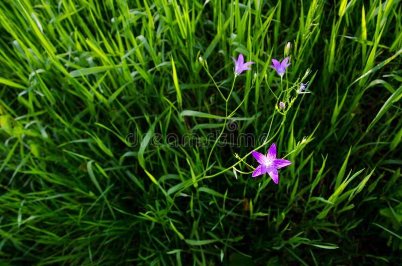 Звездные малые фиолетовые розовые цветки в богатой зеленой траве рядом с большим рекой в красивом вечере летнего дня стоковое фото rf