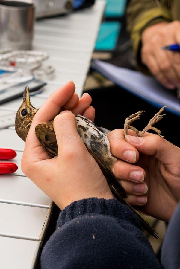 Звенеть птицы стоковые фотографии rf