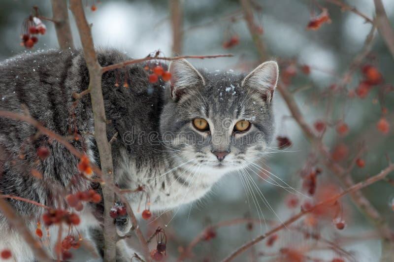 звероловство кота серое стоковые фотографии rf