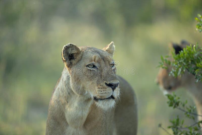 Звероловство львицы в кусте стоковые изображения rf