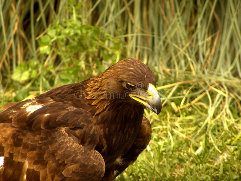 звероловство орла реальное стоковые изображения rf