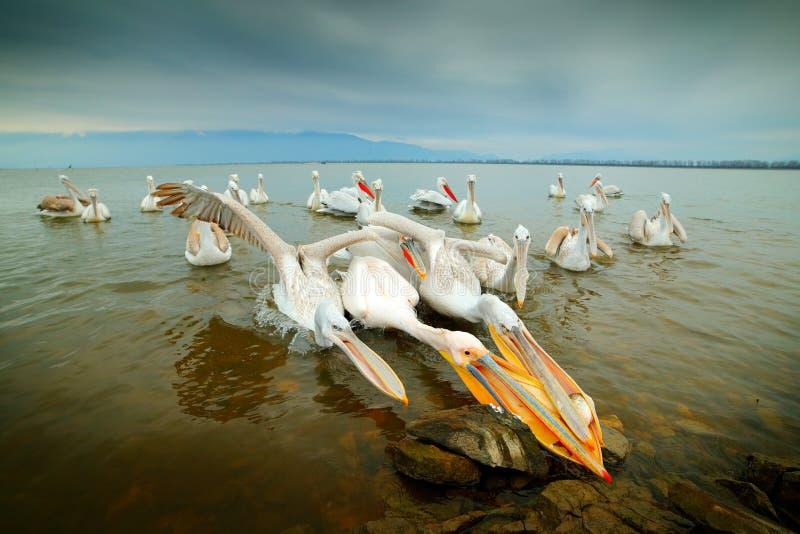 Звероловство птицы в воде Далматинский пеликан, crispus Pelecanus, в озере Kerkini, Греция Пеликан с открытым счетом, большим бел стоковое изображение