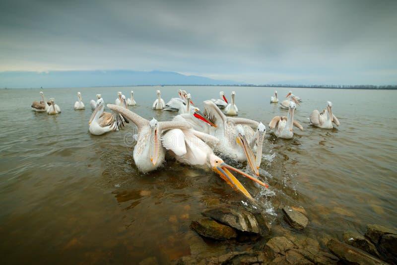 Звероловство птицы в воде Далматинский пеликан, crispus Pelecanus, в озере Kerkini, Греция Пеликан с открытым счетом, большим бел стоковое изображение rf