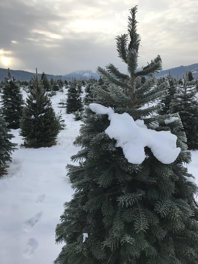 Звероловство рождественской елки стоковые фотографии rf