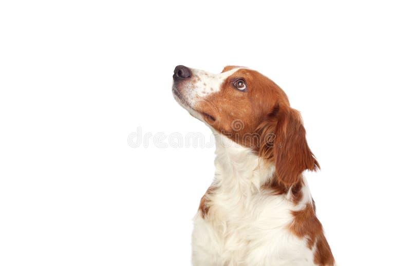 звероловство собаки славное стоковые фото