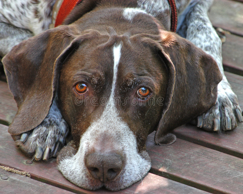 звероловство собаки Стоковые Изображения RF
