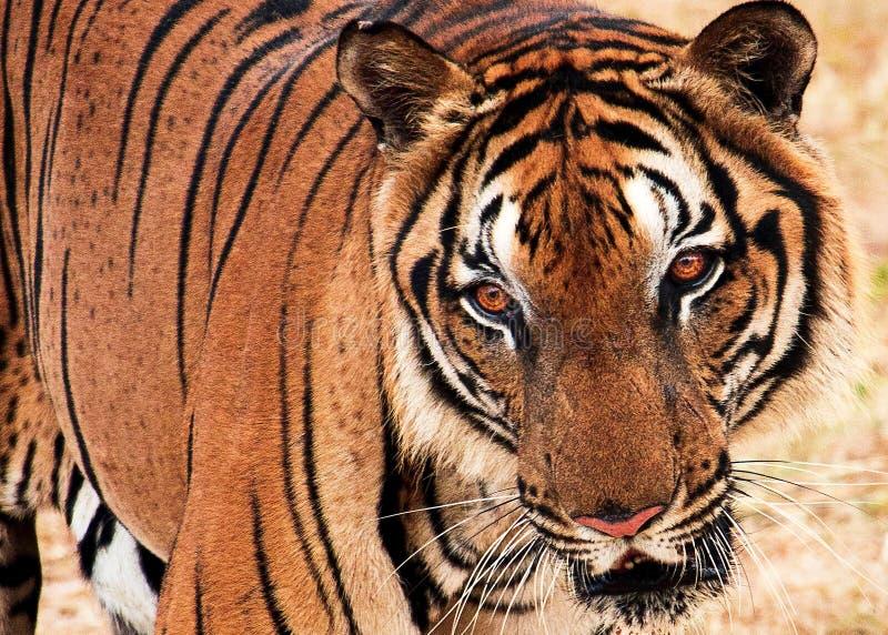 Звероловство хищника тигра Бенгалии для добычи стоковая фотография