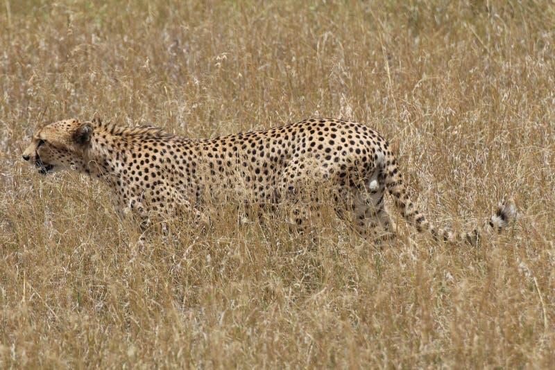 Звероловство гепарда в саванне стоковые изображения