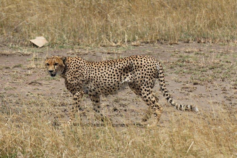 Звероловство гепарда в саванне стоковые изображения rf