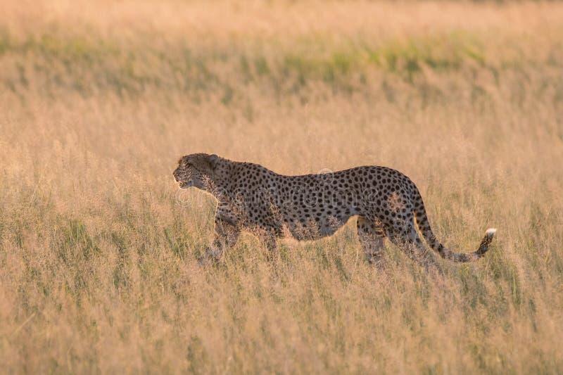 Звероловство гепарда на заходе солнца стоковое изображение rf