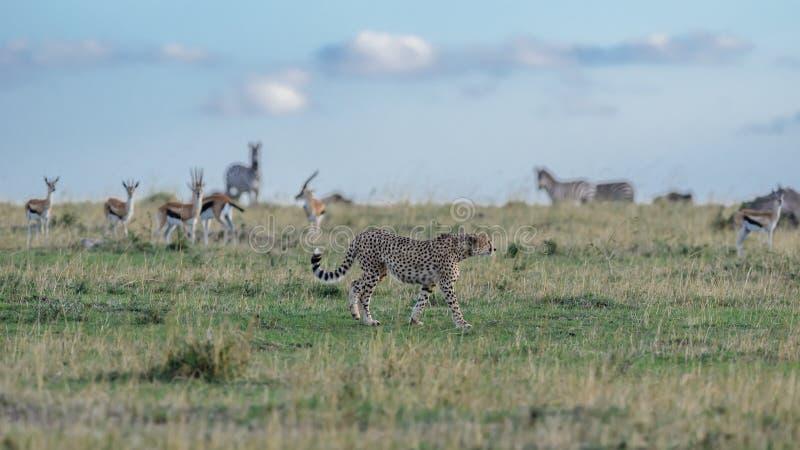 Звероловство гепарда стоковое фото rf