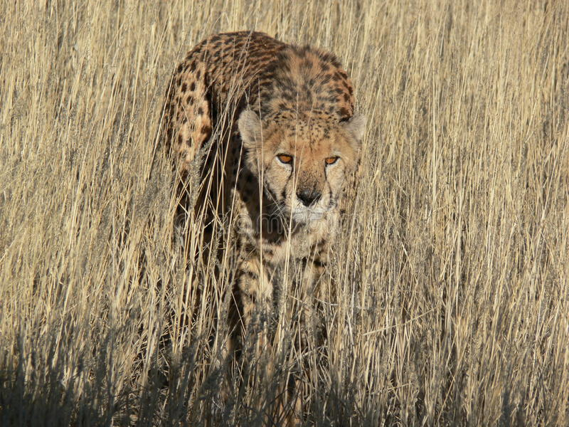 Звероловство леопарда стоковые изображения rf
