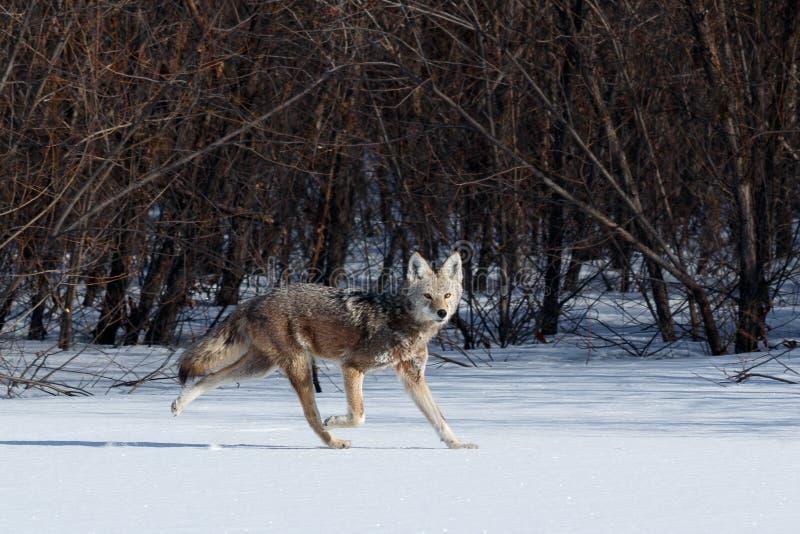 Звероловство койота в снеге стоковые фото