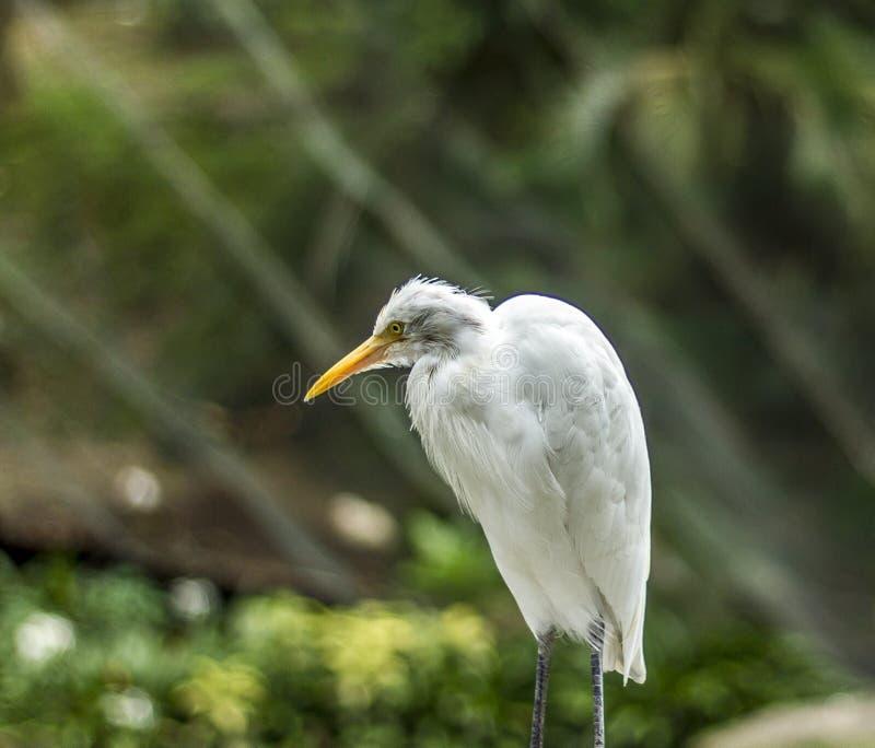 звероловство egret большое стоковое фото