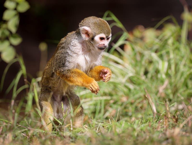 Звероловство Saimiri обезьяны белки для еды! стоковые фото
