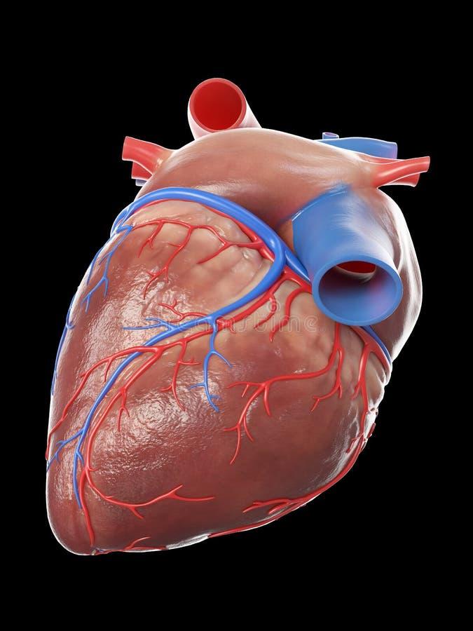 Здоровое человеческое сердце иллюстрация вектора