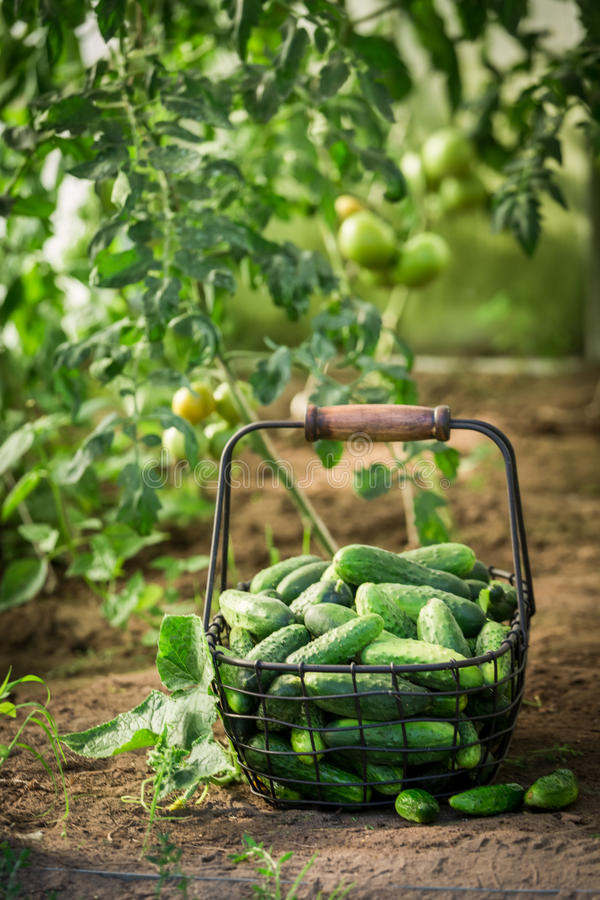 Здоровые и зеленые огурцы в старой корзине стоковое фото rf