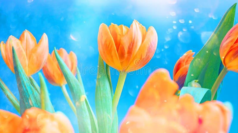 Здравствуйте весна или концепция лета Яркие оранжевые тюльпаны в светя солнце стоковые фотографии rf