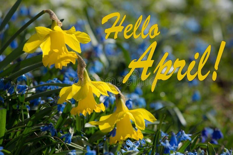 Здравствуйте! зацветать в апреле, желтых и голубых весны Lilly стоковые фотографии rf