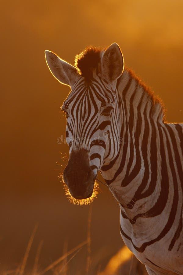 зебра восхода солнца стоковое изображение