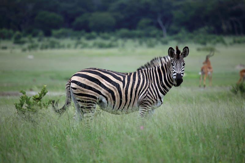 Зебра в Зимбабве, национальном парке Hwange с импалой антилопы стоковое фото