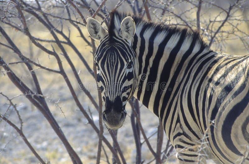 Зебра в национальном парке etosha стоковое изображение
