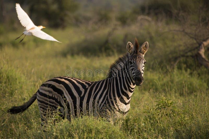 Зебра в национальном парке kruger стоковые фотографии rf