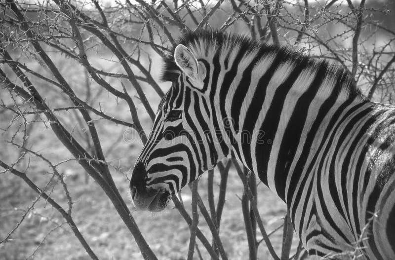 Зебра в парке etosha стоковые фотографии rf